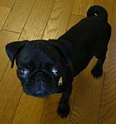 名前 レン 犬 種 パグ 毛色 ブラック 性別 男の子